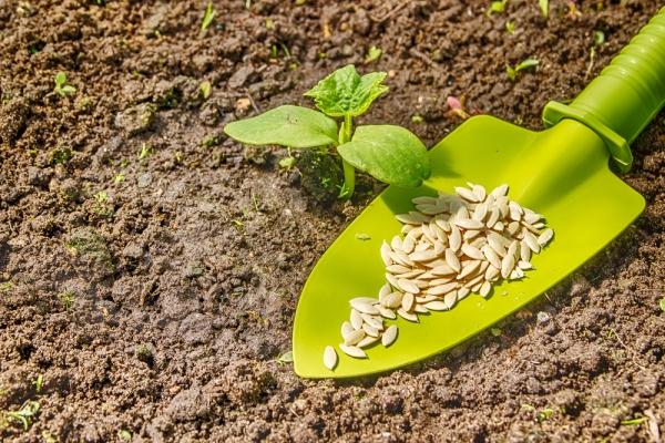 Высаживать семена в открытый грунт нужно, дождавшись полного отступления ночных заморозков