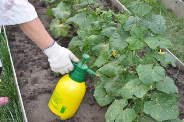 Подкармливать нужно в начале цветения и после него каждые 10 дней, чередуя органические и готовые комплексные удобрения