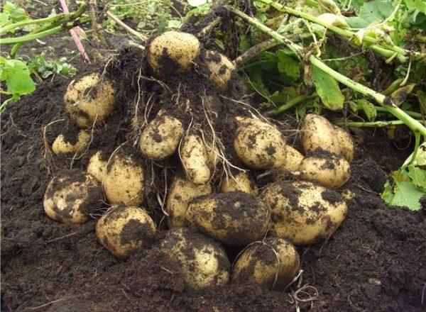 Выкопанный куст картофеля
