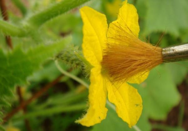 Высаживать растение нужно так, чтобы можно было самостоятельно опылить кусты