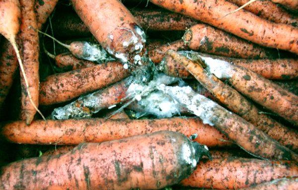 Морковь поражена белой гнилью