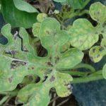 Черная гниль на листьях арбуза