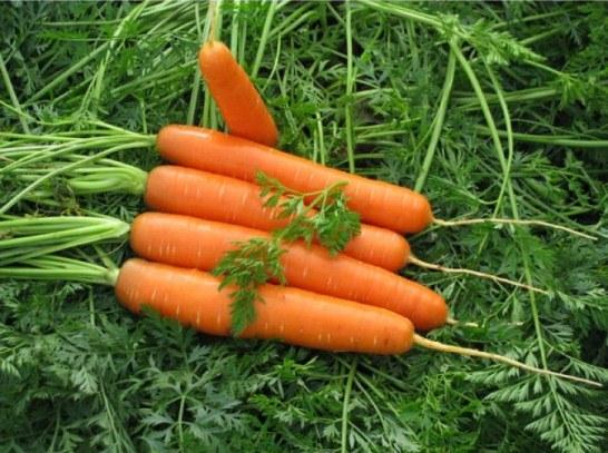 Морковь сорт Долянка