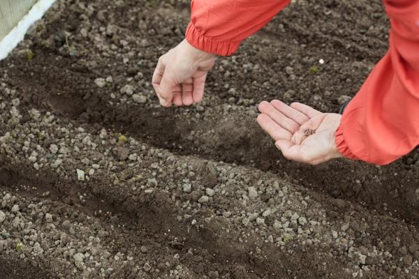 Необходимо соблюсти расстояние между рядками не менее 15 сантиметров, между семенами – 2 сантиметра