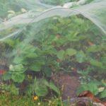 Клубника под агроволокном