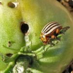 Колорадский жук является опасным вредителем томатов