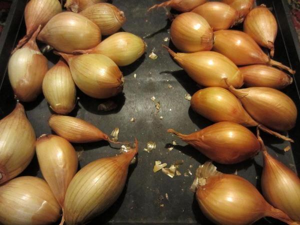 Семейный лук: посадка и уход в открытом грунте, выращивание, когда сажать