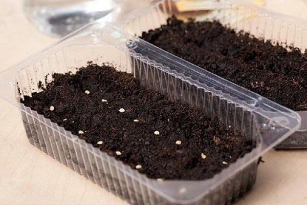 Посев томата Челнок на рассаду в пластиковый контейнер