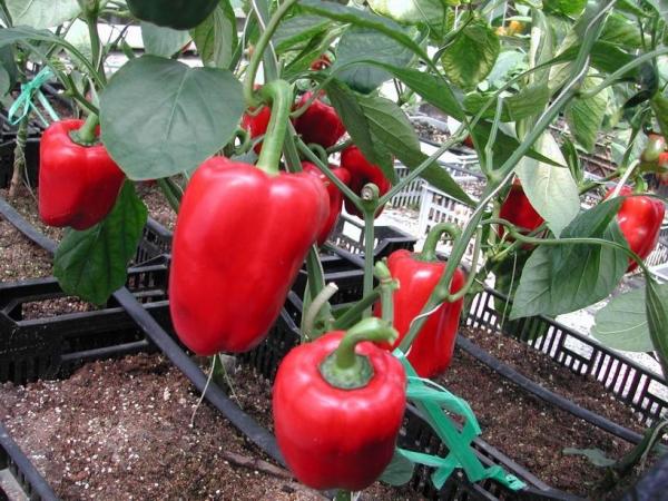 Плюсы пасынкования: увеличение количества и размеров плодов, обильное и продолжительное цветение