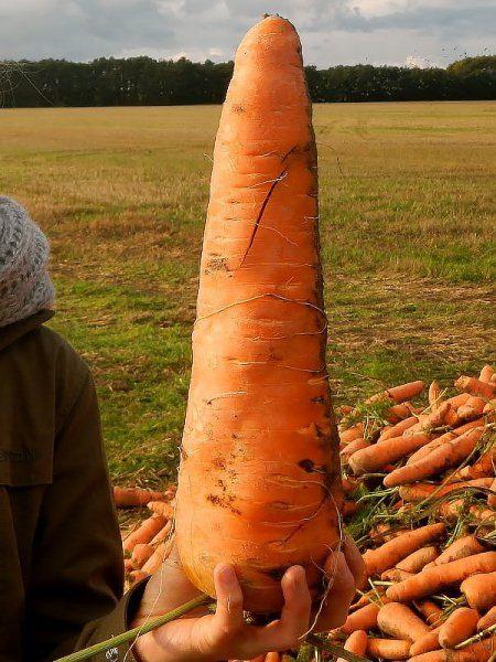Морковь сорт Русский размер