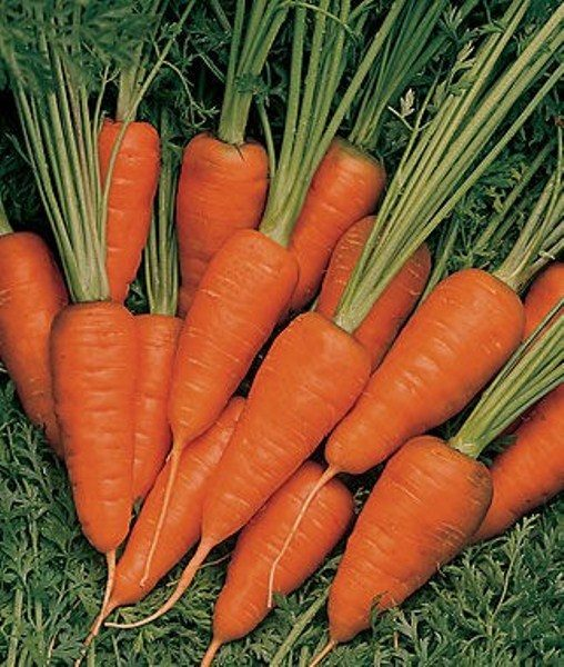 Морковь сорт Шанс