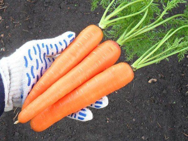 Морковь сорт Забава F1