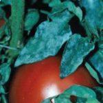 Мучниста роса на помидорах