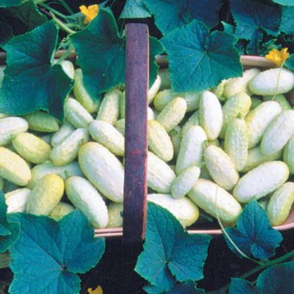 Огурцы сорт Бидиго-Лунго