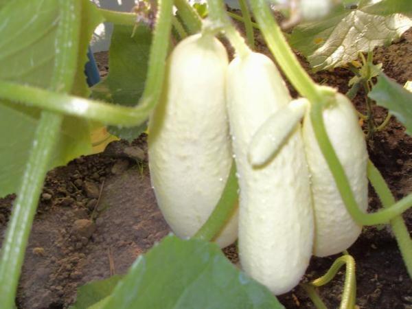 Огурцы сорт Снежный барс
