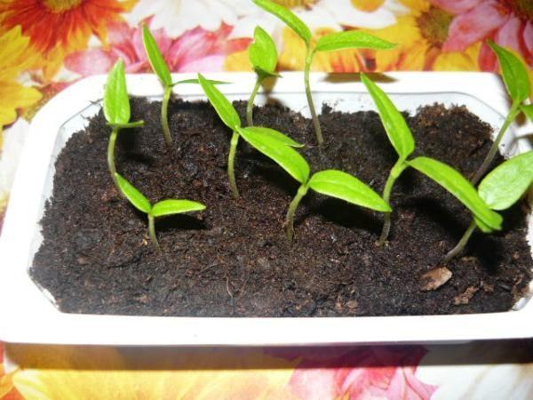 Первые ростки семян перца