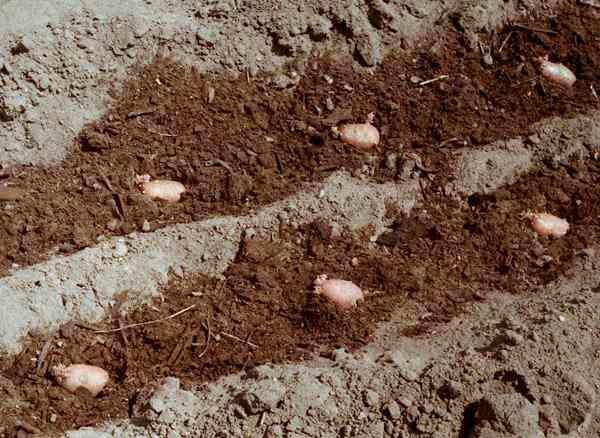 Для получения высокого урожая, при посадке картофель следует подкормить перегноем и золой