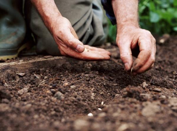 При высадке семян рекомендуется схема 50 на 40 см, в каждую луночку высаживают 2-4 семечка