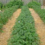 Пример мульчирования картофеля сеном