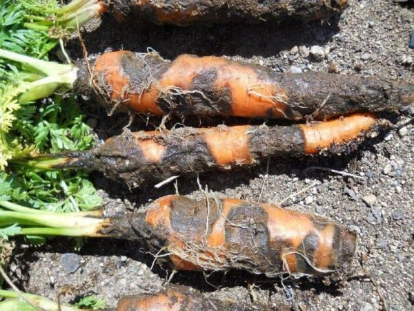 Ризоктониоз моркови или войлочная гниль