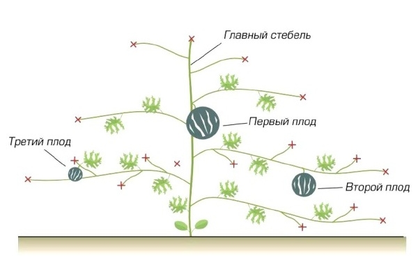 Схема прищипывания арбузов
