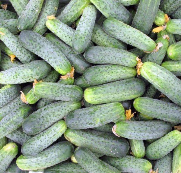 Огурцы Аякс цилиндрической формы, с крупными бугорками, темно-зеленые, с короткими светлыми полосками и белесой верхушкой