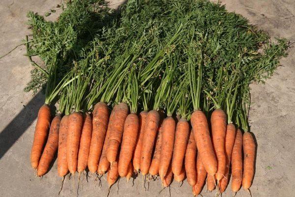 Среднеспелая морковь Самсон