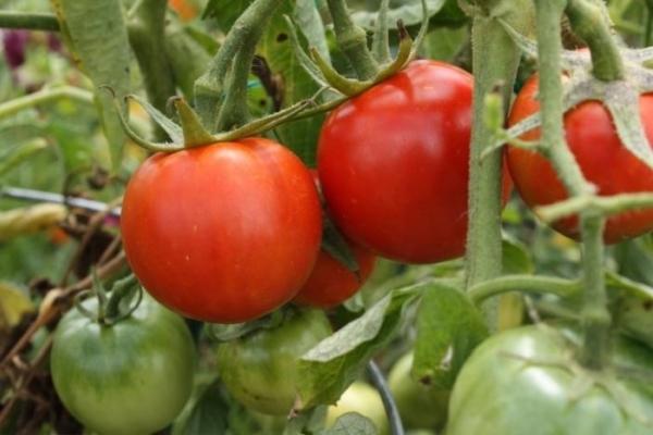 Плюсы - скороплодность, урожайность, устойчивость к погодным условиям