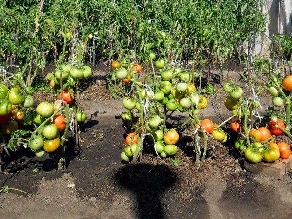 Томаты Андромеда подходят для выращивания как на открытой почве, так и в теплице