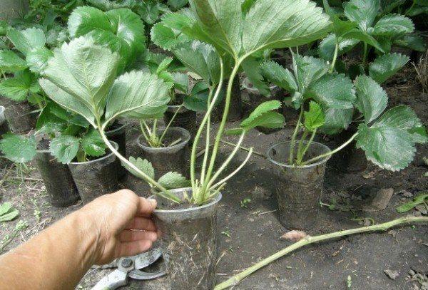 Сохранить рассаду клубники до весны