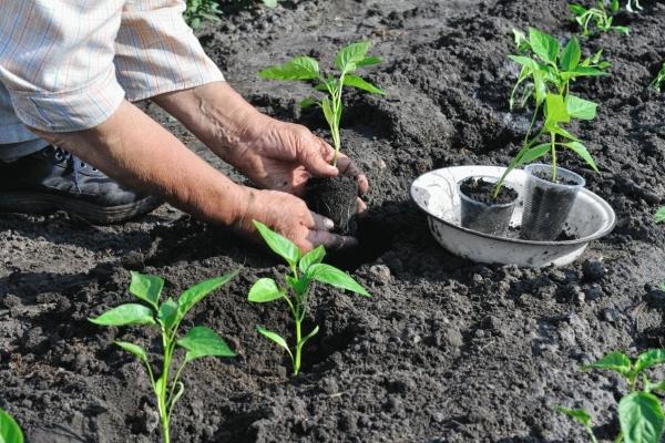 В открытый грунт рассаду высаживают в мае-июне, в теплицу без отопления можно высаживать раньше