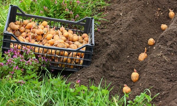 Густота посадки и норма посадки обуславливаются сортом картофеля, свойствами семенных клубней и погодой