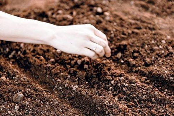 Семена лука высаживают в бороздки