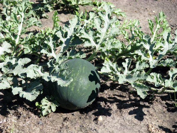 Арбуз шуга Бейби выращивают как в теплице, так и в открытом грунте