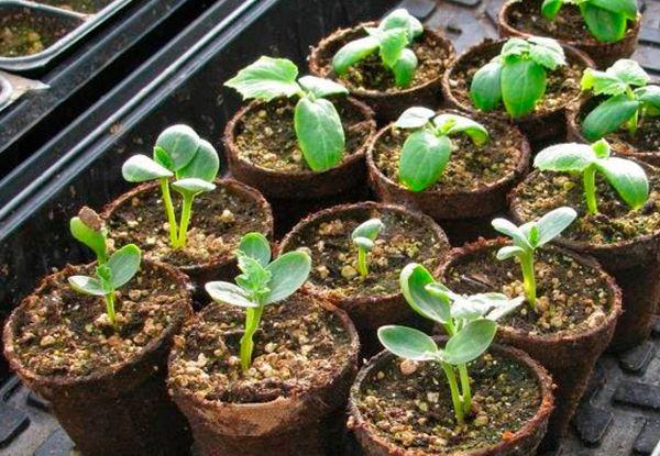 Для выращивания рассады арбуза понадобится около 40 дней