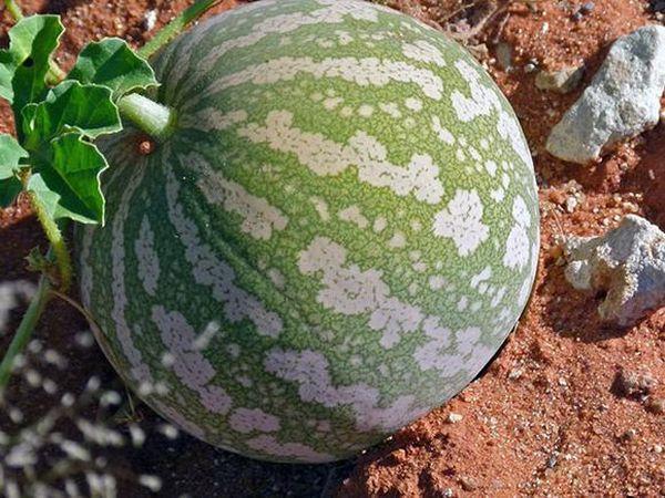 Бахчевые любят питательный грунт и солнечные участки земли