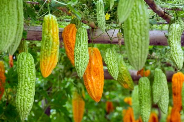 Сбор плодов происходит через 2 недели после и образования на лианах