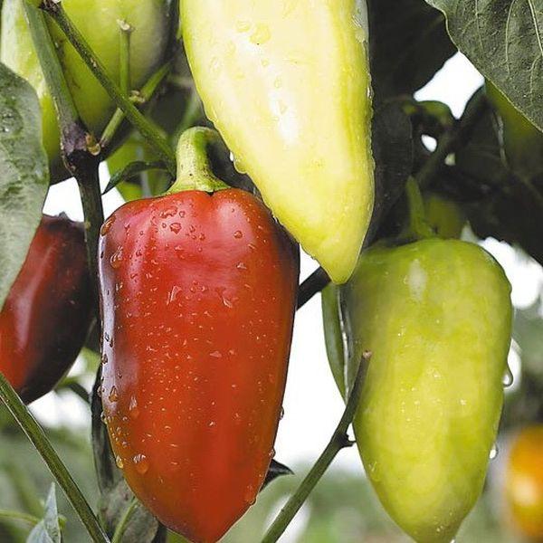 При достижении зрелости плоды приобретают красный оттенок