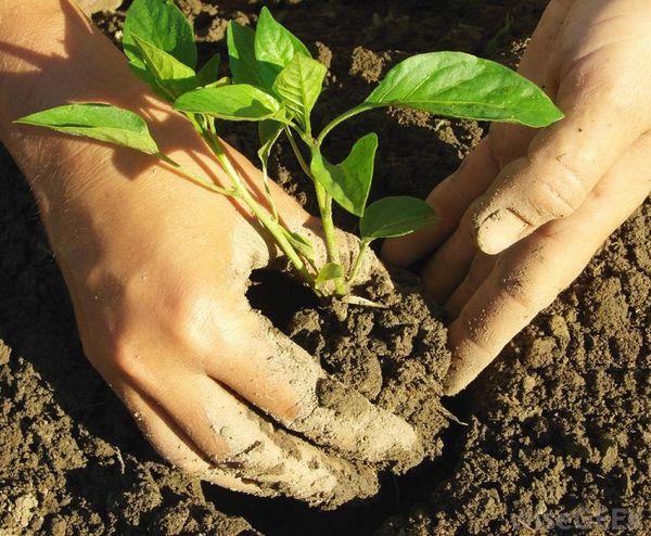 Для защиты от заболеваний растение высаживают в открытый грунт