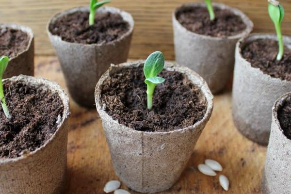 Необходимо высаживать семена сразу в отдельные стаканчики, пикировку всходы переносят очень плохо