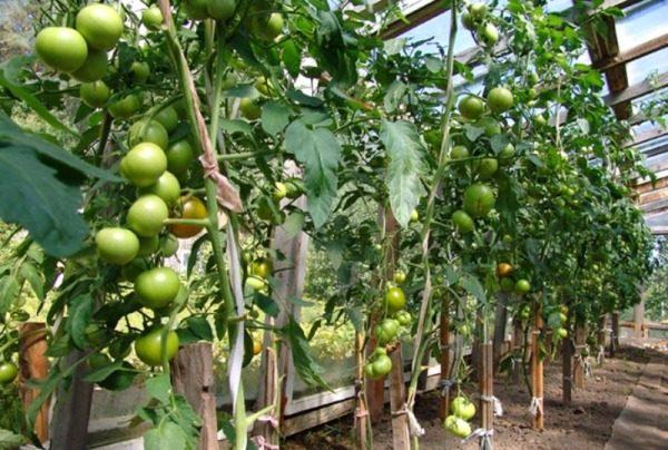 При выращивании томата Благовест в теплице, с одного куста можно получить до 5 кг помидор