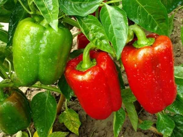 Болгарский перец выращивание и уход в домашних условиях