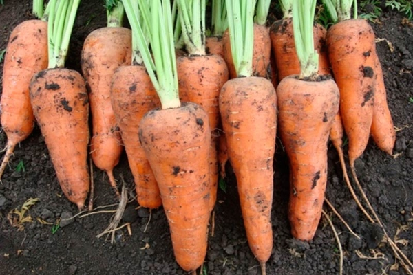 Шантане дает высокий урожай – до 10 килограммов с одного квадратного метра