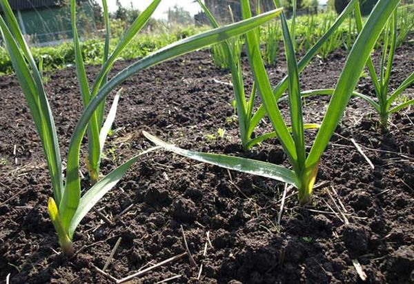 В период весеннего роста стоит использовать азотные подкормки