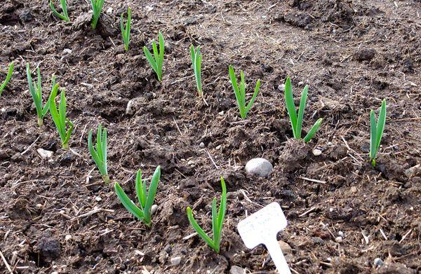 При посадке чеснока под зиму всходы он дает уже весной
