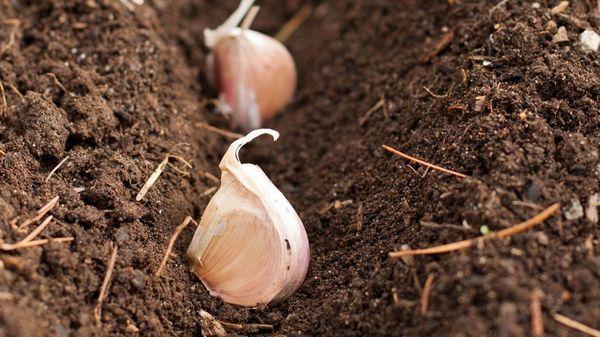 Правильное выращивание чеснока 17