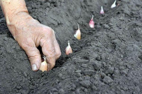 Озимый чеснок высаживается в конце сентября-начале октября