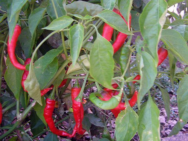 Куст перца чили имеет листочки в форме эллипса