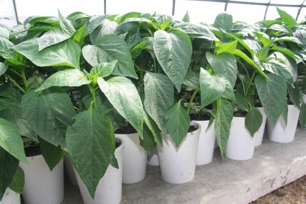 Для теплицы семена нужно посадить в середине февраля, для открытых грядок — после 20 марта