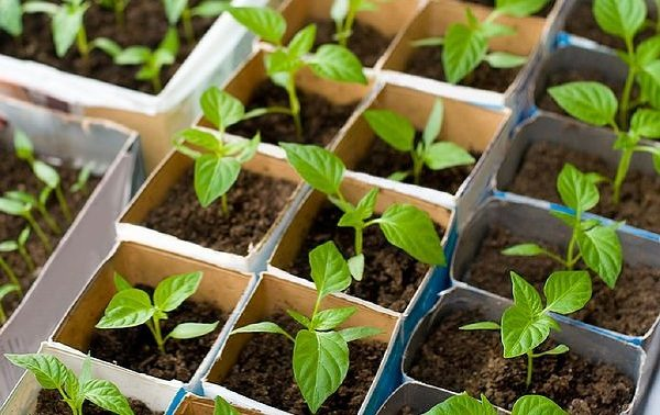 Молодые растения перцев плохо переносят пересадку, поэтому их стоит сразу сажать в отдельные емкости